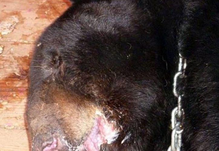 El oso 'Invictus', lesionado en la mandíbula por sus propietarios del circo Harley, ya se recupera de la operación en la que se le implantó una quijada de titanio. (reporte.com.mx)