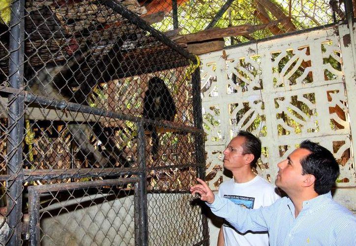 Los monos araña llevaban una dieta inadecuada. Por ejemplo, comían cochinita, puchero y hasta frijol con puerco. (SIPSE)