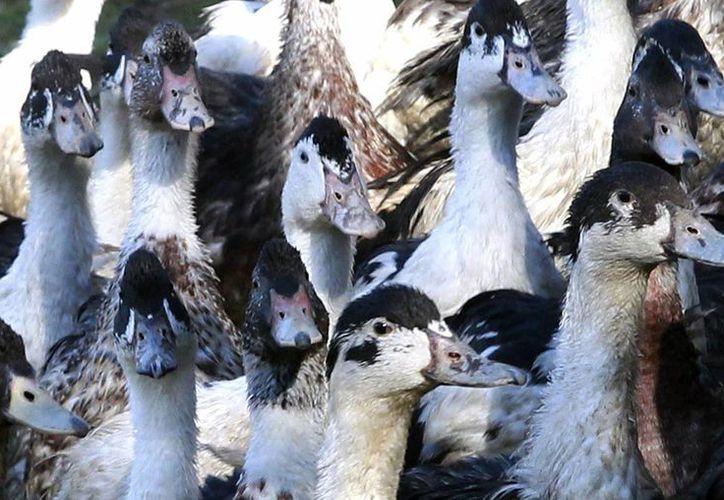 Las autoridades francesas tienen que hacer frente a una incidencia jamás vista de gripe aviar en el país. (AP/Bob Edme)