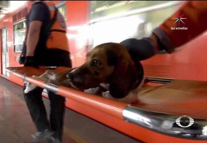 Algunos canes requieren atención especial, pues pasan días sin probar alimento tras perderse en el metro. (Noticieros Televisa)