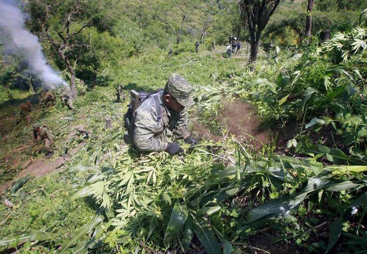 En la imagen, un militar destruye un plantío de marihuana de más de 30 mil hectáreas en Zapopan, Jalisco. (Archivo/Notimex)