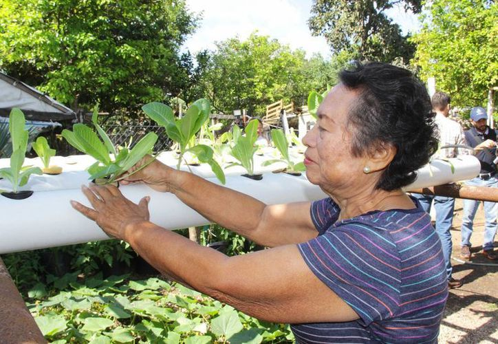 María Exaltación Sabido Canché ha tenido éxitos con diversos cultivos mediante el sistema de hidroponia. (SIPSE)