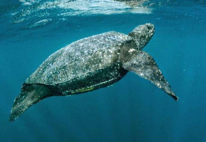 El apareamiento de las tortugas laúd se lleva a cabo en el agua. (Contexto/Internet)