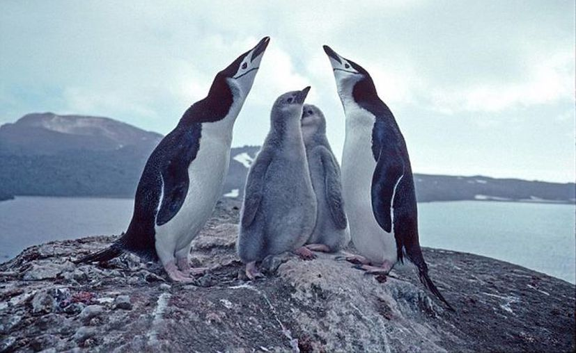 En Zavodovski habitan 1.2 millones de pingüinos antárticos de dos variedades diferent. (Pete Bucktrout/British Antarctic Survey)