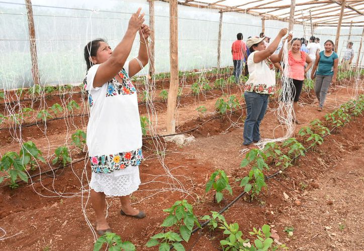 Más de 10 mil personas que se dedican a la agricultura en Felipe Carrillo Puerto están a la espera de poder tener acceso a programas de apoyo.  (Jesús Caamal/SIPSE)
