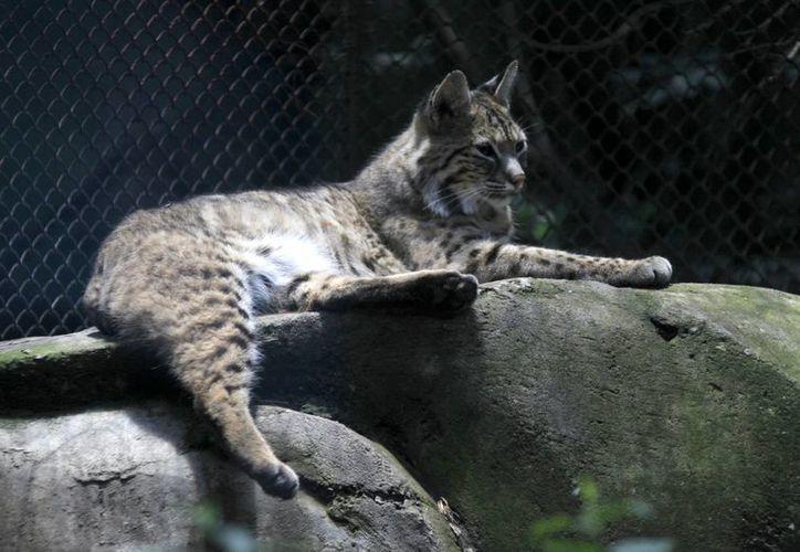 De los dos mil 243 animales que hay en los tres zoológicos de la capital, el 5.6 por ciento de la población total de ejemplares son animales viejos. (Archivo/Notimex)