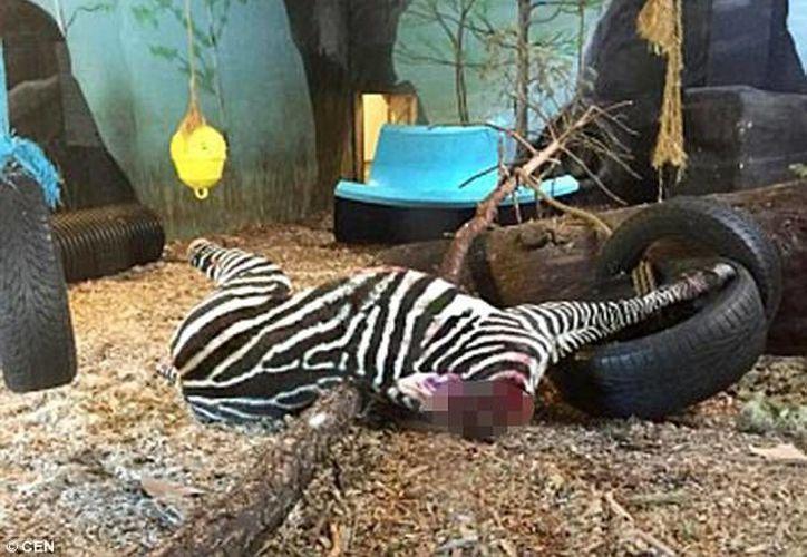 Los funcionarios del parque admitieron que la cebra fue sacrificada 'porque tenían demasiadas'. (dailymail.co.uk)