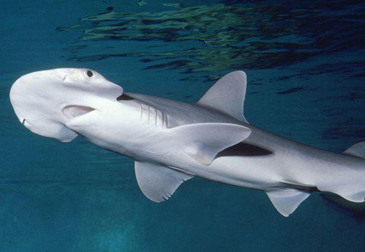 Los tiburones de cabeza de pala –una subespecie del tiburón martillo– se alimentan de forma activa con hierba marina. (Foto: Entrelineas)
