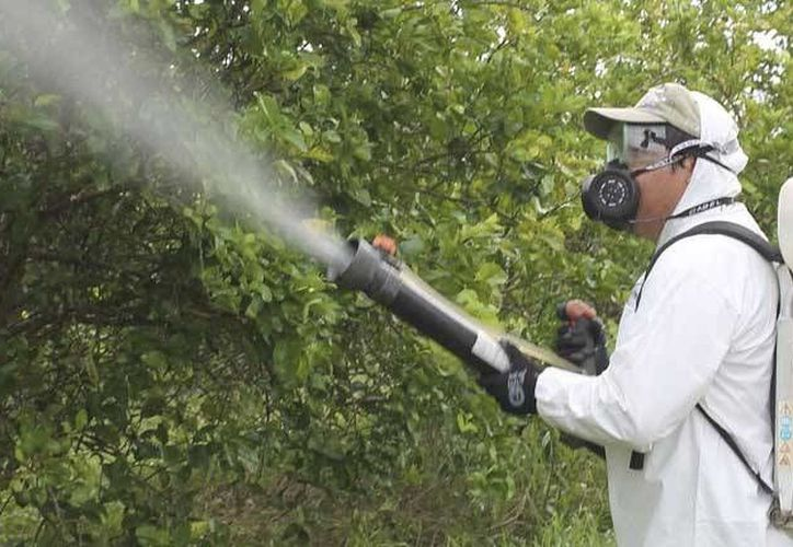Anteriormente el comité acudía a las plantaciones y además de las fumigaciones, derribaban los árboles infectados a fin de evitar la propagación.  (Javier Ortíz/SIPSE)