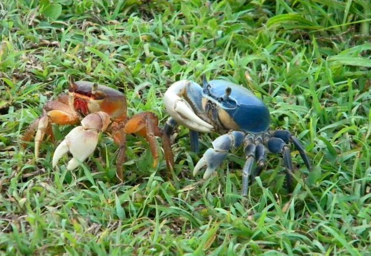 En Cozumel hay dos tipos de cangrejos, el rojo y el azul, éste último es el más común. (Gustavo Villegas/SIPSE)