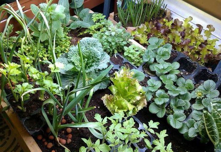 El curso ofrece técnicas para desarrollar el huerto y sobre como plantar y cosechar tus propios alimentos. (Archivo/SIPSE)