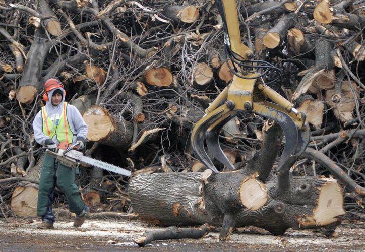 Árboles que son derribados, quebrados o dañados por vientos son a menudo cortados para leña, lo que a menudo puede facilitar la diseminación de insectos invasivos. (AP)