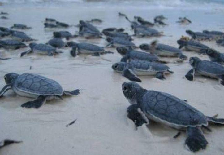 Se estima que se han liberado 22 mil 750 crías de tortuga. (Contexto/Internet)