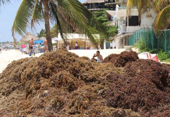 Se recolectaron 10 toneladas de sargazo que recaló derivado del proceso natural de limpieza del mar y 80 kilos de material reciclable. (Redacción/SIPSE)