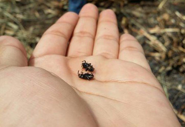"""El """"picudo negro"""" es un insecto en forma de escarabajo que se introduce a la caña para depositar sus huevecillos al interior de la vara. (Edgardo Rodríguez/SIPSE)"""