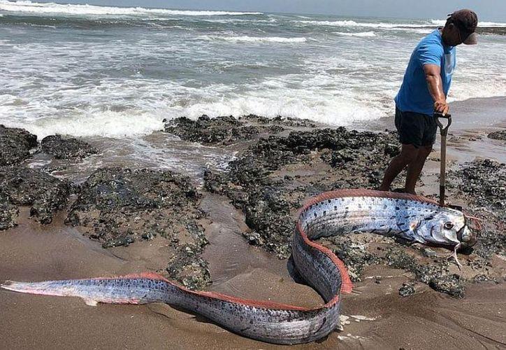 La razón del pánico que genera el pez terremoto por su aparición reside en que esta especie rara vez anda por la superficie. (El Diario de Chihuahua)