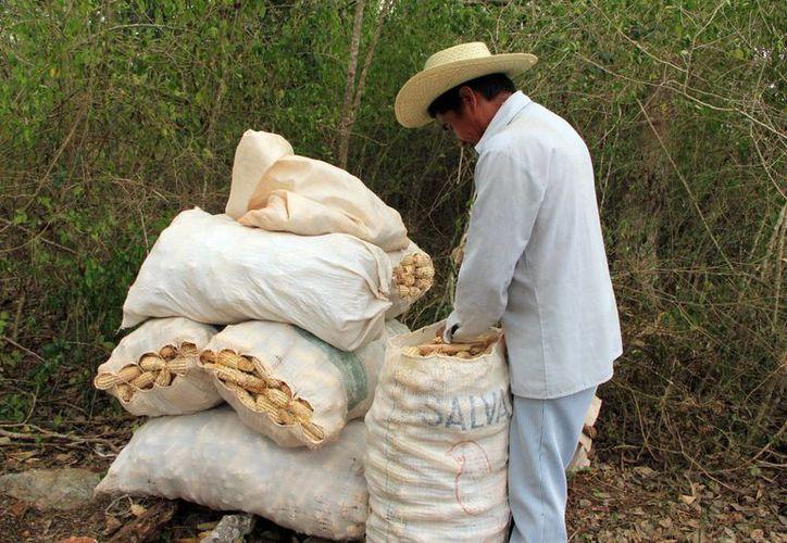 La semilla criolla de maíz mejorada Sac Beh tiene alto valor proteínico. (Milenio Novedades)