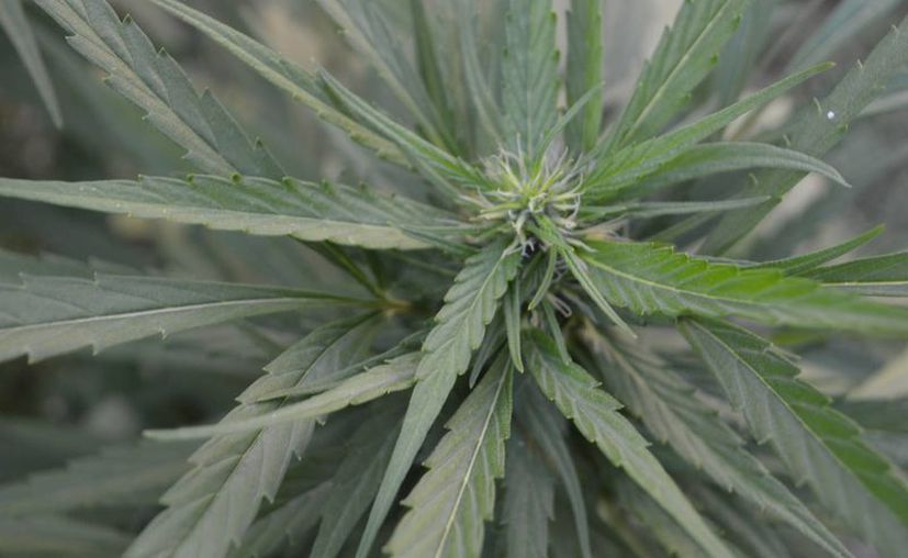 La medida pretenden controlar el narcomenudeo de la marihuana en México. (Ángel Castilla/SIPSE)