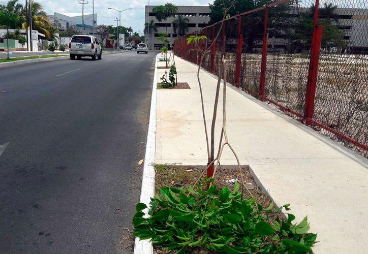 Árboles que recién sembró el Ayuntamiento como parte de la remodelación del parque de Cordemex, en Mérida, fueron destruidos. (Milenio Novedades)