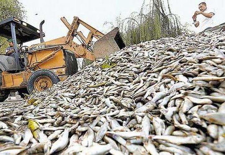 Es la cuarta vez en poco tiempo en que se registran peces muertos en la laguna Cajititlán, pero es la primera donde la cantidad es impresionante. (EFE)