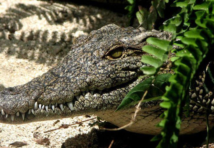 Los cocodrilos de cueva se alimentan de murciélagos y grillos. (Pexels)