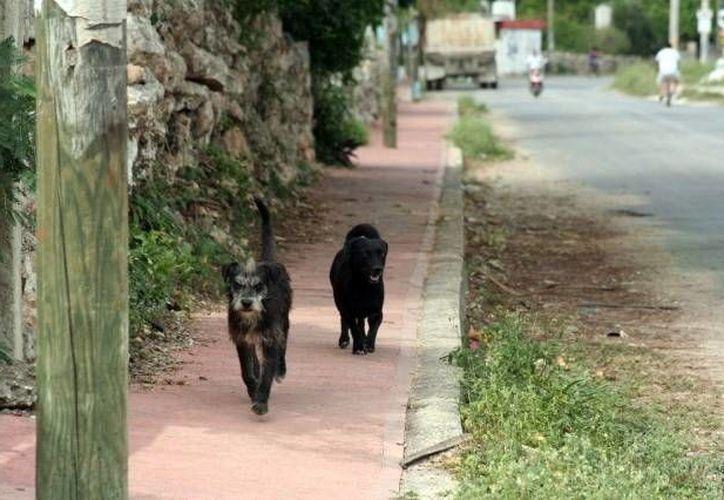 Muchos perros sufren por el calor mientras están encadenados o libres, pero sin techo. (Milenio Novedades)