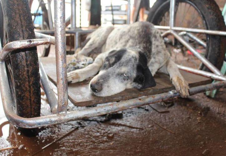 Al día el Cebiam recibe 11 denuncias por maltrato animal.  (Irelis Leal/SIPSE)