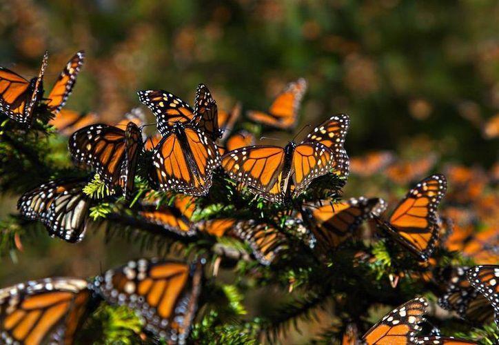 Las colonias de la mariposa Monarca solo ocuparon una superficie forestal de 0.67 hectáreas, que representó la cantidad más baja desde 1993. (huellas.mx)