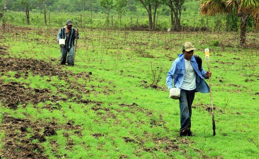 La Uady realiza investigaciones sobre la agricultura tradicional. (Milenio Novedades)