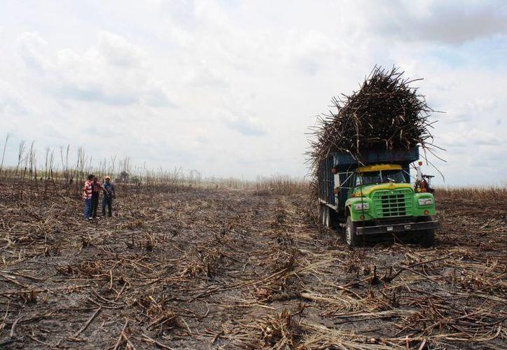 Se prevé una disminución en la producción de caña en el mundo. (Edgardo Rodríguez/SIPSE)