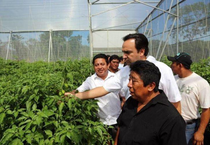 Nerio Torres supervisó el avance de la consecha de chile habanero. (SIPSE)