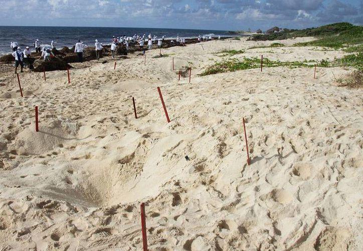 La Profepa consignó a 2 personas que transportaban casi cuatro mil huevos de tortuga golfina, una especie protegida por la ley. La imagen es de una playa de anidación, en Cozumel, y está utilizada solo con fines ilustrativos. (Archivo/NTX)