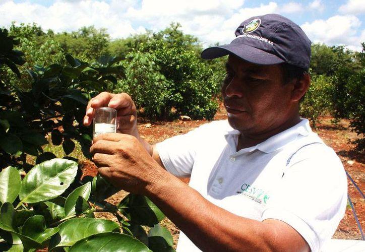 La liberación de insectos se realizará en zonas donde no se emplean químicos para combatir el HLB. (Cortesía)