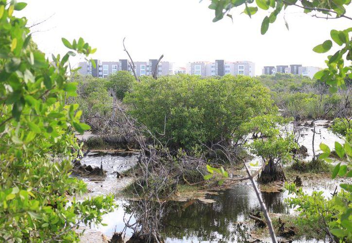 En los últimos estudios se registró una ligera recuperación del manglar en Playa del Carmen. (Foto: Adrián  Bareto/SIPSE)