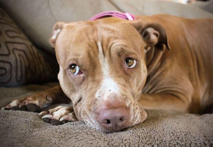 El perro no será sacrificado y regresará con su familia, informó el ayuntamiento de León. (Foto: Contexto)