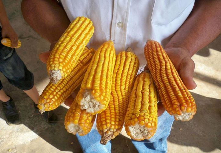 Campesinos de diversas comunidades acuden al intercambio anual para intercambiar variedad de maíz. (Manuel Salazar/SIPSE)