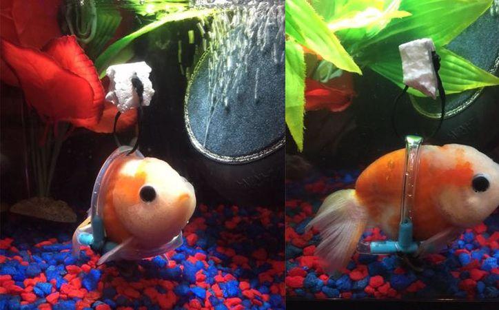 Una youtuber compartió la imagen de un pez con una 'silla de ruedas', para ayudarlo a nadar. (http://tn.com.ar)