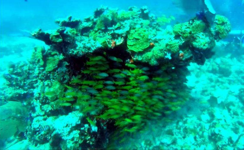 El arrecife estaría a una profundidad de seis metros, la cual es accesible para cualquier persona que lo visite. (Archivo/Sipse)