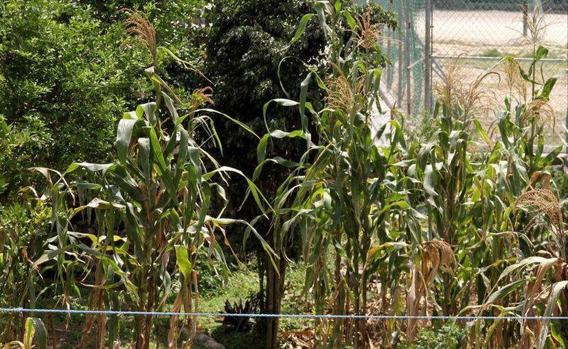 La Confederación Nacional Campesina sugiere aprovechar los patios y azoteas para producir hortalizas de consumo propio.  (Adrián Mornoy/SIPSE)