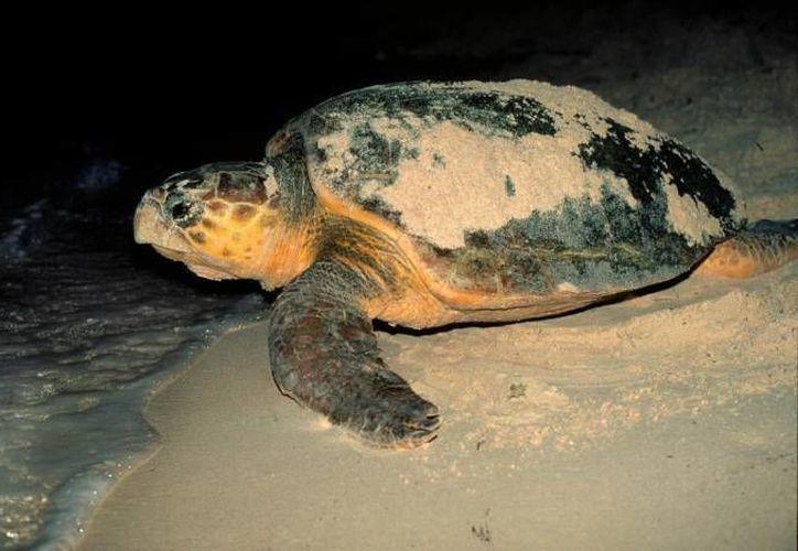 En julio es la temporada de anidación en la cual se recibe la mayor cantidad de tortugas que llegan a desovar. (Redacción/SIPSE)
