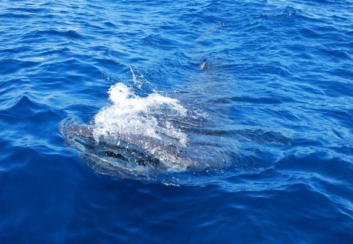 Se calcula que al día, unas mil personas acuden a disfrutar del espectáculo del nado con uno de las especies más grandes que habitan en los mares. (Tomás Álvarez/SIPSE)