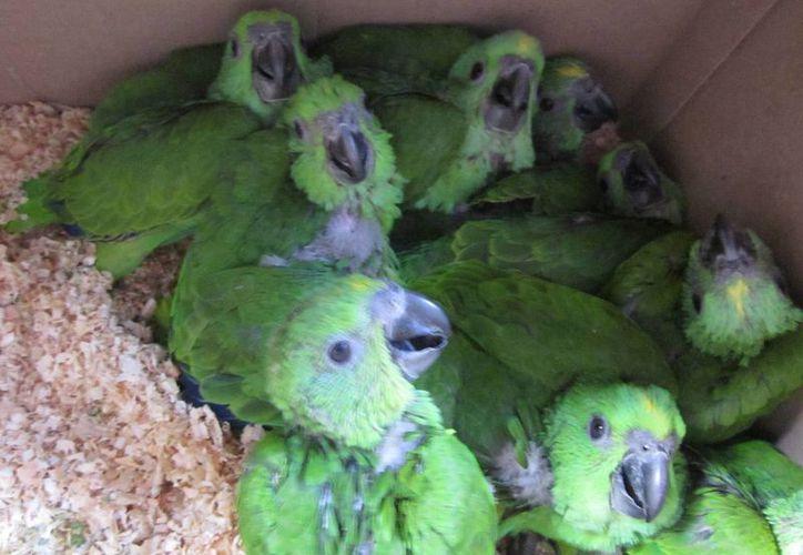 Ayer se puso a disposición del MPF a una persona que tenía en su poder  58 ejemplares de reptiles y aves que pretendía vender de forma ilegal. (Notimex)