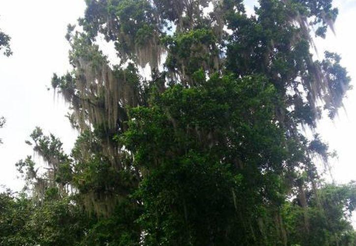 El heno crece favorablemente en árboles como el ramón o la ceiba. (Edgardo Rodríguez/SIPSE)