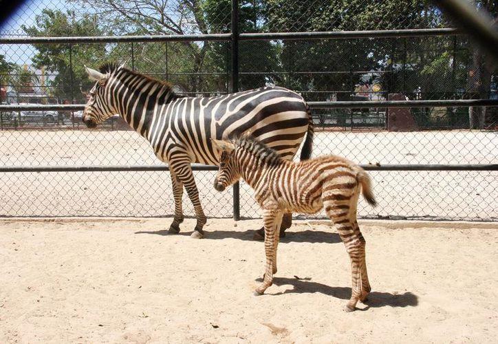 El cuadrúpedo puede ser visitado en el Zoológico Centenario. (SIPSE)
