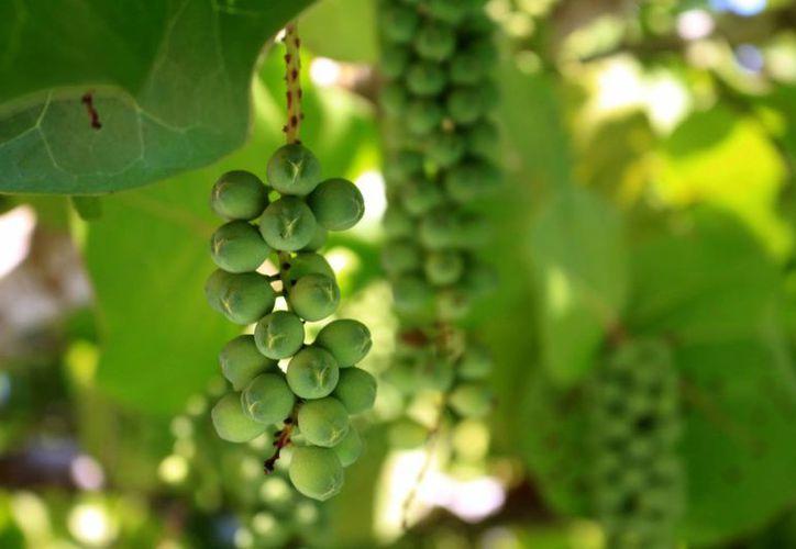 La uva de mar tiene muchos beneficios. (Claudia Martín/SIPSE)