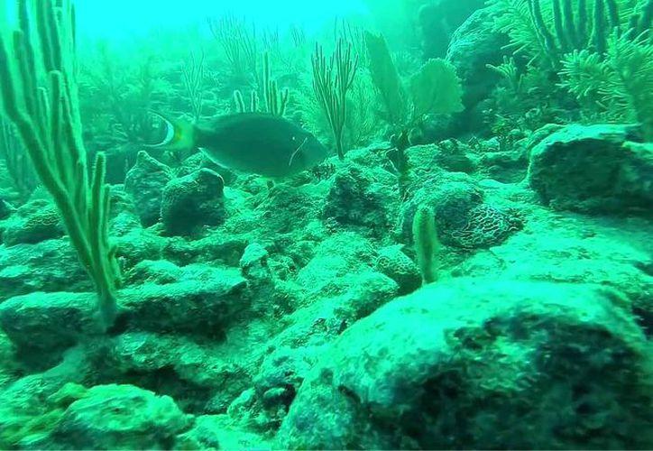 Señalan que estos peces son determinantes en la salud de arrecifes y corales. (Redacción/SIPSE)