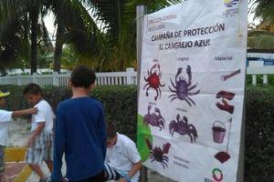Inicia el rescate del cangrejo azul en Cancún