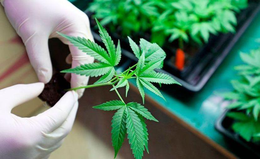 La Cofepris liberó hoy el primer paquete de 38 productos con cannabis que pueden ser comercializados en México. (El Economista)