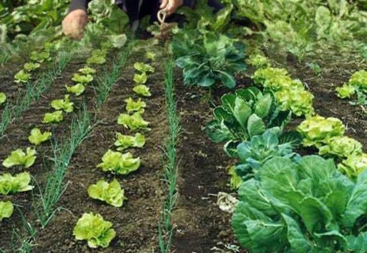 Promueven en el estado el uso de técnicas de agricultura orgánica con el fin de que los productos sean cultivados sin el uso de químicos. (Redacción/SIPSE)