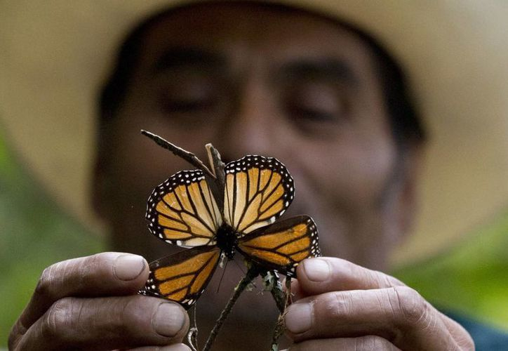 Las mariposas Monarca están perdiendo la capacidad de resistir a las adversidades del clima debido a diversos factores, entre ellos la tala ilegal. (AP/Rebecca Blackwell)